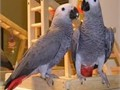 African grey male and female pair available for sale to any loving home at 50000 each with cage t