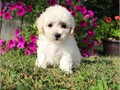 Name BiancaDOB 8-2-17AVAILABLE 10-5-17Gender FemaleBreed 50 Bichon x 50 Poodle  Bich