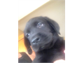 Labrador Retriever Puppies AKC registered Black male and female beautiful babies shots dewormed vet