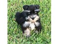 Marcus is a male miniature schnauzer puppy that has exquisite blue eyes that just sparkle with very