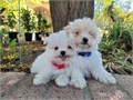 Shih-TzuPomeranian Males 9 weeks old Beautifully colored They are happy and love to play Puppy