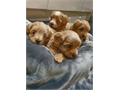 These Adorable Maltipoo puppies are dewormed likewise AKC registered as they come with some benefits