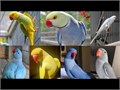 Males and females Indian Ringneck parakeet ready for lovely homes For more details text us at 424
