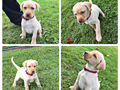 Labrador Retreiver We have Yellow  White AKC pups born 8292016  pups are ready to go to their n