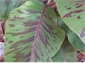 5 gallon Red Banana attractive green leaves purple spots 20 Cash Only 15 gallon 6 feet tall Blue Ja