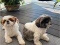 Hello there i have gorgeous Identical purebred Shih tzu  puppies They are UTD on their shots and ha