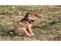 Vivacious Shiba Inu PuppsThey are well socialized with kids and other household pets 706 406-82