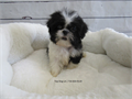 DOB June 12 2017Sex MaleBreed Shih TzuApprox size at maturity 8-10 lbsVaccinationDe