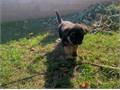 One long coat female German shepherd pup available The female is turning 7 weeks old this week bot