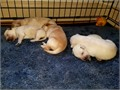 Beautiful healthy Golden Labrador puppies Born Sept 9 2017 Ready Nov 8 2017 Will be up to date
