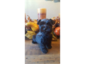 AKC register Mini Schnauzers 3 males current on age vaccinations  deworming  Parents on premises