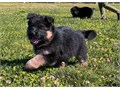 interested only please German Shepherd Male  Female 180000Up 2000 ok Puppies 8 weeks old 2 v