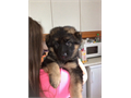 Beautiful German Shepard puppies9 weeks old very cute  curiousthese pups av o