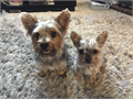 Rehoming full breed toy yorkies 1 girl 950 tricolor tails docked declawed dewormed born july 8 will