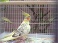 Female cockatiel 1 and haft years old very beautiful ready for Breeding asking for 180 if you in