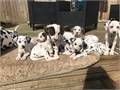 Beautiful A KC registered Dalmatian puppies mostly white ones Comes with a Three generational certi