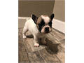 AKC FRENCH BULLDOG AKC Puppies 1 Year Health Guarantee UTD on shorts and deworming Fawn and Fawn