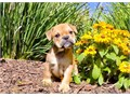 Dynasty is a Tan  White female English Bulldog She is up to date on her vaccines and vet checks an
