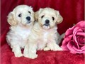 Fine Maltipoo Puppies Super adorable Maltipoo Puppies So gentle and affectionate I have 3 left
