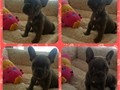 ACK French bulldogs 2 month old I have 2 males and one female Shots up to date and deworm paper
