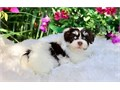 Reserved Havanese puppies availableThese puppies akc registered  vet checked and will come with al