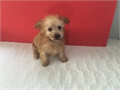 caramelapricot color Maltipoo with big eyes boy ready to go home by a licensed breederfriendly p