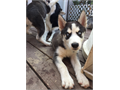 Full breed Siberian husky blue eyes both males very energetic and great family pet 12weeks