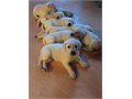 AKC Labrador Retriever Thanks for checking out my ad I have 12 puppies male and female Dew claws