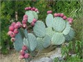 perfectly rounded bluish green thorny cactus pads also called Mickey Mouse EarsDinner Plate Cactus