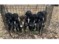 Labradoodle puppies first generation 2 girls and 2 boys available Mom is registered Lab and dad is