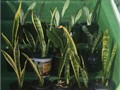 five species ever popular Mother-in-Law Tongue succulent also called Snake Plant mottled green leav