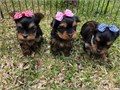 puppies ready for the new home male and females  shots and dewormed crate trai