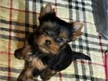 socialized yorkie puppies for free adoption they are vet checked akc registered