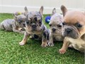 French Bulldog puppies for sale at affordable prices they are 7 in numbers but