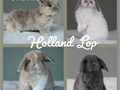 PLEASE TEXT ME ABOUT UPCOMING LITTERS Purebred Holland Lop Bunnies Super friendly and beginning to