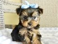 TINY YORKIE PUPPY FOR SALE  PUPPY FOR SALE ADORABLE YORKIE  9 WEEKS  OLD  HE WILL BE 6 POUNDS FUL