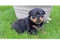 Stunning litter of Rottweiler puppies Male and female aKC registered are our family pets and can be
