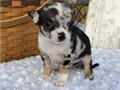 Chihuahua puppies for saleFor more informationCONTACT US DIRECTLY VIA TEXT