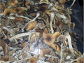 psilocybin shrooms available for depression anxiety and personal trips  All strains contact50