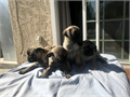 I have Females and Males Pug PuppiesThey are 7 weeks old First shot Text me if you are intere