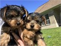 We now have lovely teacup yorkie puppies available for adoption they are home r