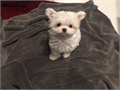 Maltese super tiny short nose round eyes short body and legs clean face he is the best quality