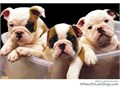 Mom is olde English Bulldog and Dad English Bulldog 2 months old pups ready for a new home 562-500-