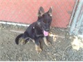akc german shepherds females blackred 12 weeks old has all her puppy shots well socialized fath