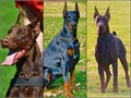 100 European AKC Doberman Puppies from a very promising all BlackRust litter Male  Female availab