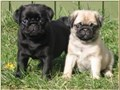 Well well brought up pug puppies for a new home I have two beautiful pug puppies the puppies are cu