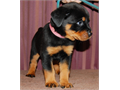 AKC Rottweiler Our new litter is due Feb 16-20 We are a small family breeder There are no ken