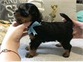 cute Yorkshire Puppies For saleGorgeous Tiny Yorkie Puppies For Adoption Very Playful and fri