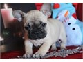 French bulldog puppiesonly text  405 x 655 x 8366 for updated pictures and information about the p