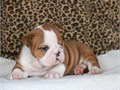 Adorable English Bulldog Pups for sale Kindly contact via text  213-471-7230  f
